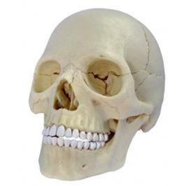 Alltoys Anatomie člověka - lebka